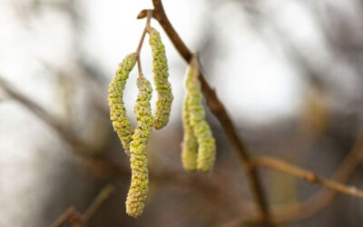 Catkins Falling From Trees